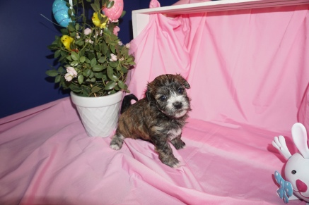 Onyx Male CKC Havanese $1750 Ready 4/13 AVAILABLE 4W4D Old
