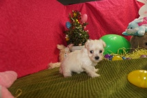 Ryan Gosling Male CKC Maltipoo $1750 Ready 3/24 HAS DEPOSIT MY NEW HOME KINGSLAND, GA 15oz 5w3d old