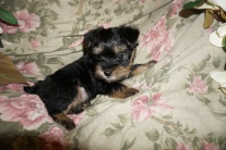 Thor Male CKC Havashire $1750 Ready 3/3 SOLD MY NEW HOME JACKSONVILLE, FL 2.1lbs 6wks3d