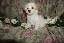Valentino Male CKC Morkipoo $1750 Ready 2/17 SOLD MY NEW HOME TALLAHASSEE, FL 2.5lbs 8wks old