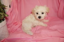 Zac Efron Male CKC Maltipoo $1750 Ready 3/24 HAS DEPOSIT MY NEW HOME ST JOHNS, FL 1.15lb 7wk5d old