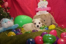 James Franco Male CKC Maltipoo $1750 Ready 3/24 HAS DEPOSIT MY NEW HOME , TALLAHASSEE, FL 1.2lbs 5w3d old