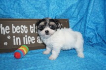 Lacey Female CKC Havashire $1750 Ready 5/3 SOLD MY NEW HOME JACKSONVILLE, FL 1.14 lbs 7W5D Old