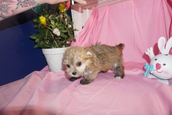 Lillian Female CKC Morkie 1750 Ready 3/31 HAS DEPOSIT MY NEW HOME ORLANDO, FL 1.5lbs 6W3D old