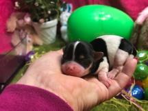 Lulu Female CKC Havashire $1750 Ready 5/3 AVAILABLE 4.8 oz Just Born