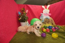 Mike Wazowski Male CKC Morkipoo $1750 HAS DEPOSIT MY NEW HOME TEXAS 3/28 1.10lbs 5wks old