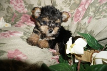 Squidward Male Havashire $1750 Ready 2/21 SOLD MY NEW HOME JACKSONVILLE, FL 1.4lbs 7W6D old