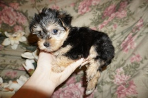 Toby Male CKC Havashire $1750 Ready 3/3 SOLD MY NEW HOME JACKSONVILLE, FL 1.14lbs 6wks3d old