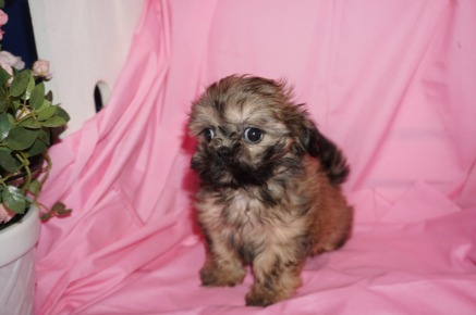 Callie Female CKC Malshi $1750 Ready 3/17 SOLD MY NEW HOME ST JOHNS, FL 1.13lb 8wk4d old