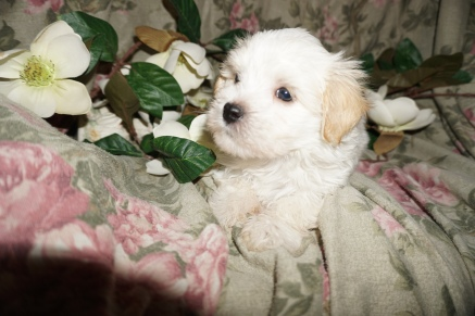 Elliot Male CKC Havanese $1750 Ready 3/2 SOLD MY NEW HOME SCHENECTADY, NY 2.9lbs 6w2d old