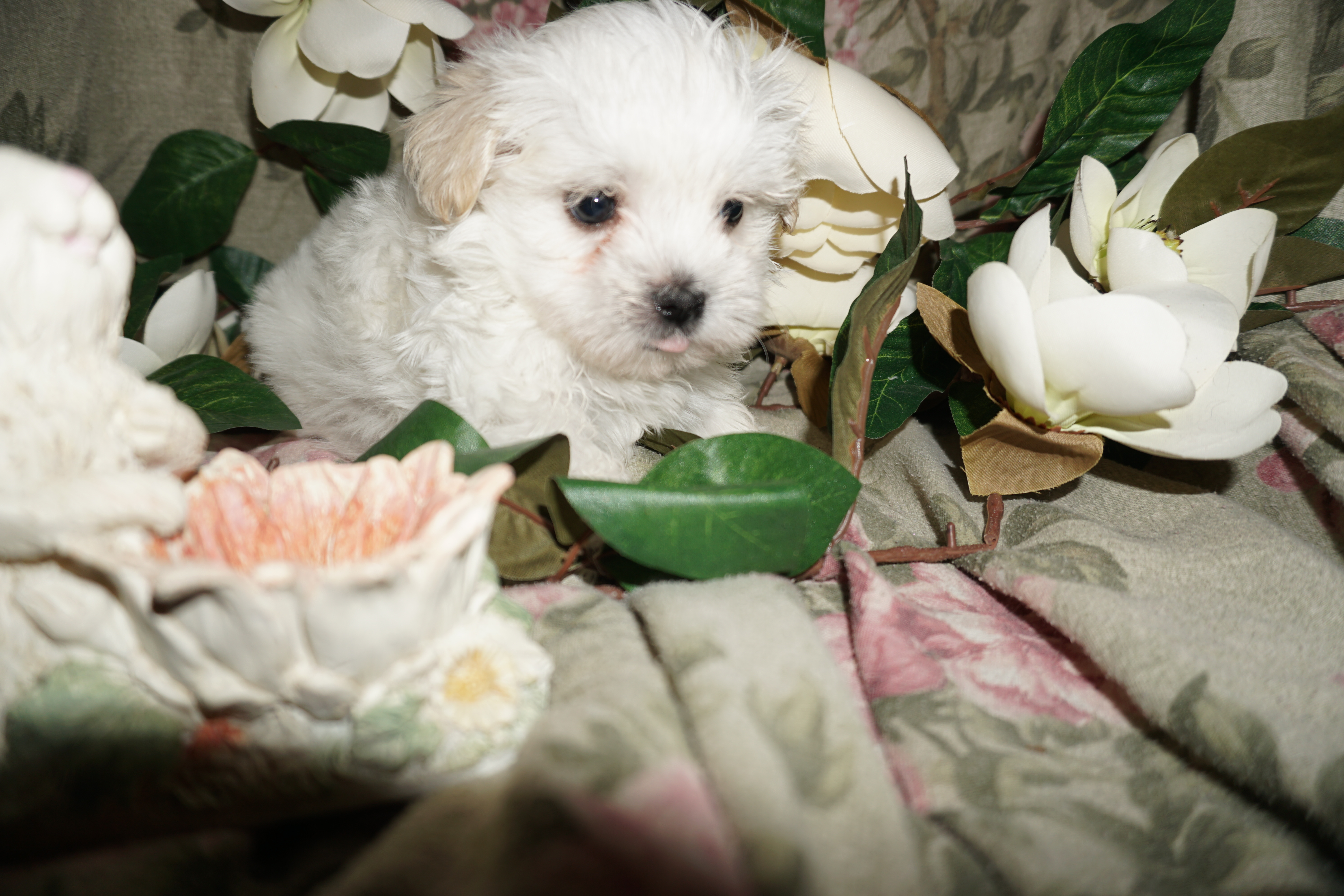 Sold evan cutest male ckc havanese just look at those eyes they sold evan cutest male ckc havanese just look at those eyes they say love tlc puppy love nvjuhfo Images