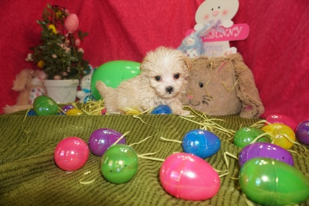 Hank Male CKC Havapoo $1750 Ready 3/17 SOLD MY NEW HOME ST PETERSBURG 1.1lbs 6w4d old