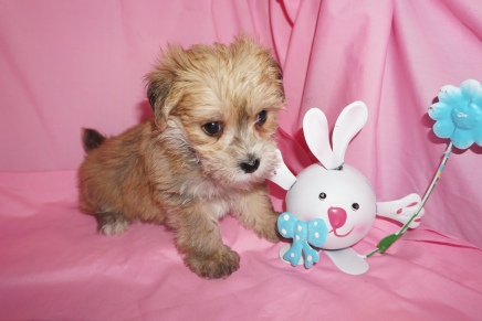 Landon Male CKC Morkie 1750 Ready 3/31 HAS DEPOSIT MY NEW HOME ORANGE PARK, FL 1.14 lbs 6W3Dold