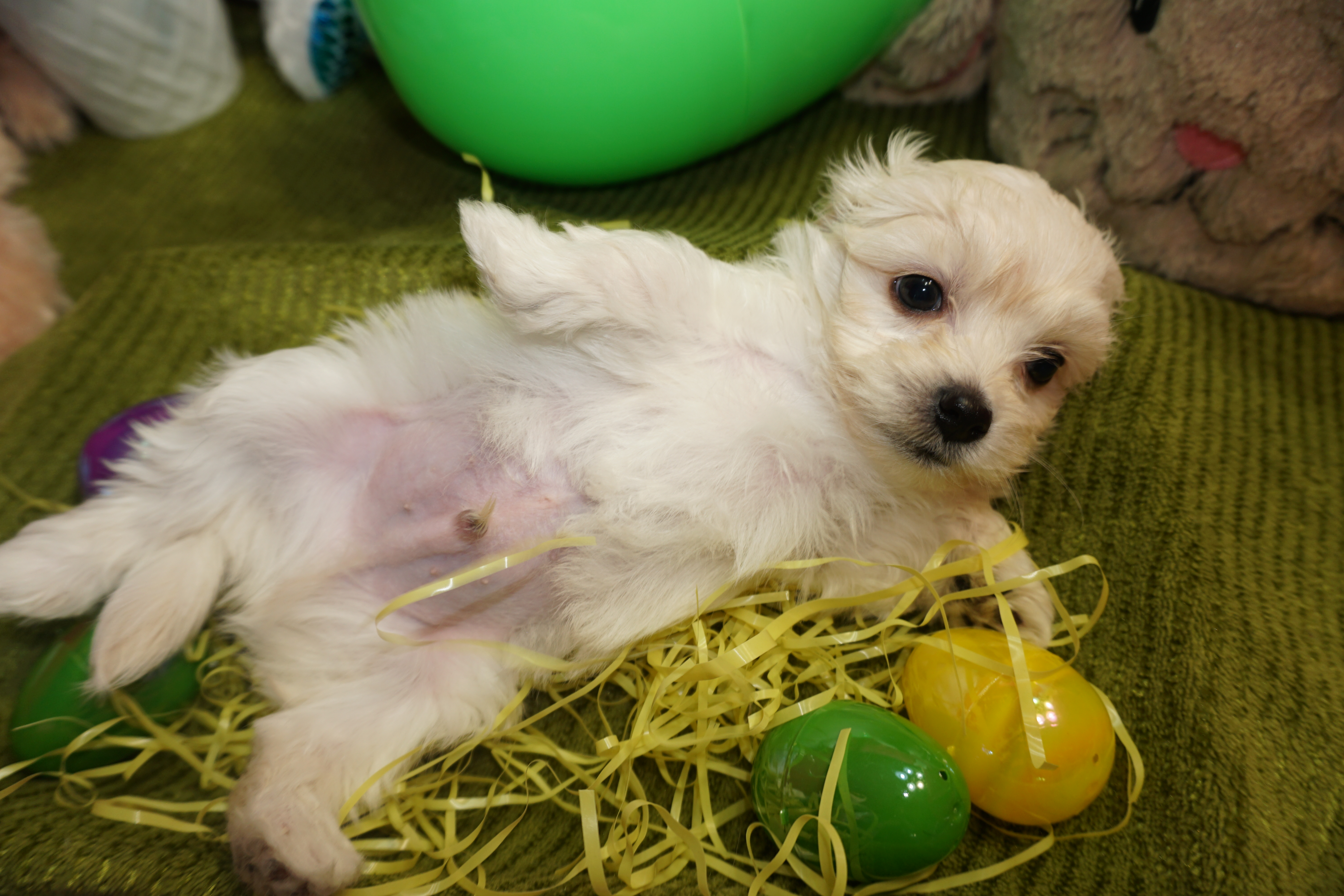 Has deposit paul mccartney sweetest male ckc maltipoo smallest of has deposit paul mccartney sweetest male ckc maltipoo smallest of his litter tlc puppy love nvjuhfo Images