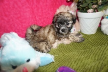 Ringo Starr Male CKC Maltipoo $1750 Ready 3/17 HAS DEPOSIT MY NEW HOME MILFORD, NH 1.9lb 6w3d old