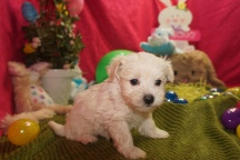 Zac Efron Male CKC Maltipoo $1750 Ready 3/24 HAS DEPOSIT MY NEW HOME ST JOHNS, FL 1.5lbs 5w3d old