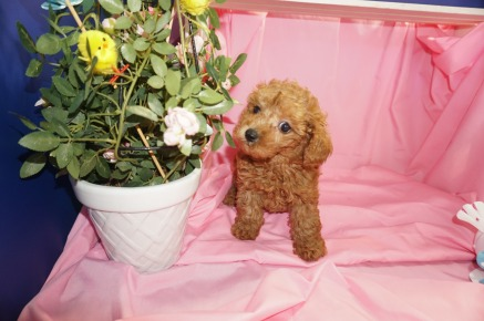 Boo Female CKC Morkipoo $1750 SOLD MY NEW HOME OVIEDO, FL 3/28 1.14lb 7wk1d old