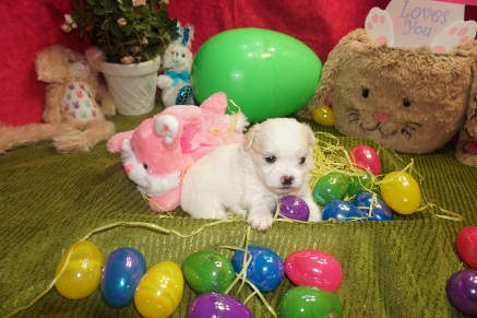 Dove Female CKC Malshi $1750 Ready 4/6 HAS DEPOSIT MY NEW HOME OVIEDO, FL 1.7lbs 3W4D old