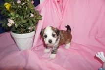 Tiger Eye Male CKC Havanese Ready 4/13 AVAILABLE 1.13 lb 4W4 old