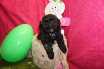 Victoria Female CKC Shihpoo $1750 Ready 3/17 SOLD MY NEW HOME CORAL SPRINGS, FL 2.5lbs 6w1d old
