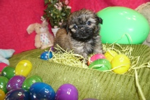 Alix Male CKC Malshi $1750 Ready 3/18 HAS DEPOSIT MY NEW HOME JACKSONVILLE, FL 1.5lb 6W2D old