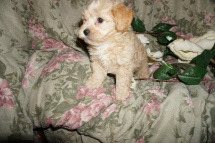 Anna Female CKC Shihpoo $1750 Ready 2/25 SOLD JACKSONVILLE, FL 2.1lbs 7W1D old