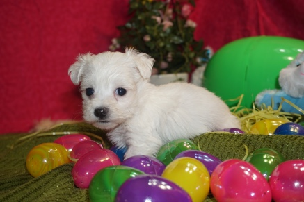 Channing Tatum Male CKC Maltipoo $1750 Ready 3/24 HAS DEPOSIT MY NEW HOME ST PETERSBURG, FL 15oz 5w3d old