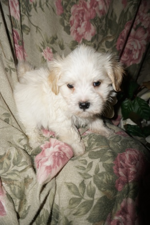 Elliot Male CKC Havanese $1750 Ready 3/2 SOLD HOME SCHENECTADY, NY 2.9lbs 6w2d old