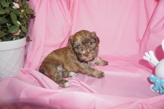 Ruby Female CKC Havanese $1750 Ready 4/13 HAS DEPOSIT My new home Land O Lakes,,FL 4W4D Old