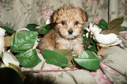Sponge Bob Male CKC Havashire $1750 Ready 2/21 SOLD MY NEW HOME JACKSONVILLE, FL 1.6lbs 7W6D old