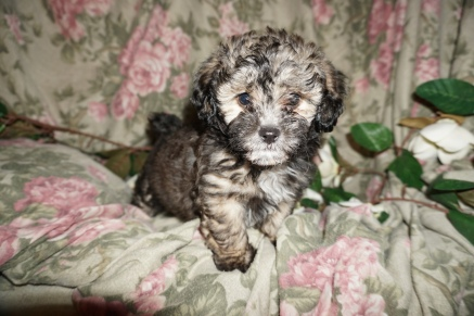 Sven Male CKC Shihpoo $1750 Ready SOLD MY NEW HOME MELBOURNE, FL 2.7lbs 7W1D old