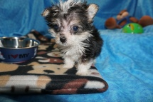 Patrick Male CKC Havashire $2000 Ready 2/21 SOLD MY NEW HOME JACKSONVILLE, FL 15oz 9wks old