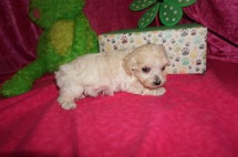 Andy Male CKC Maltipoo $1750 Ready 5/8 HAS DEPOSIT MY NEW HOME WINDERMRE, FL 1.6 lbs 5W2D old