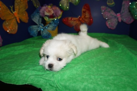 Dove Female CKC Malshi $1750 Ready 4/6 SOLD MY NEW HOME OVIEDO, FL 2.7lbs 7wk4d old