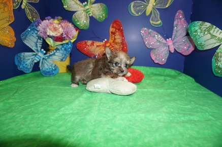 Jet Male Havashire $1750 Ready 4/13 SOLD! my new home is in Hilliard, FL! 1.4 Lbs 3W4D Old