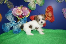 Kaipo Male CKC Havashu $1750 READY 4/21 SOLD MY NEW HOME WESTMINSTER, MD 1.6lb 4wk4d old