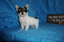 Lego Male CKC Havashire $1750 Ready 5/3 SOLD MY NEW HOME JACKSONVILLE, FL 1.11 lbs 7W4D Old
