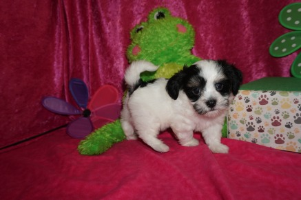 Lemon Male CKC Havanese $1750 Ready 4/21 SOLD MY NEW HOME HYPOLUXO, FL 2.5 lb 7W2D old