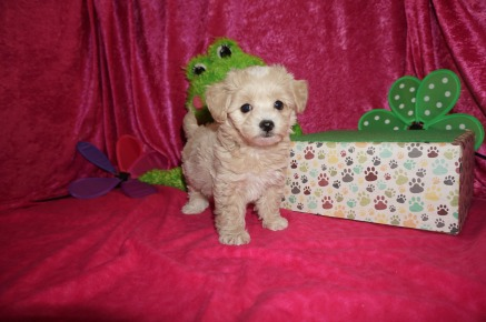 Lightning Male CKC Havapoo $1750 Ready 4/21 SOLD MY NEW HOME VENETIA, PA 2.1lbs 7wk2d old