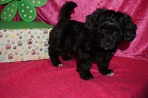 Morning Dew Female CKC Havapoo $1750 Ready 4/21 SOLD MY NEW HOME ST JOHNS, FL 2.12lb 7wk2d old