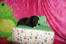 Pollyanna Female Miki $2000 Ready 5/12 HAS DEPOSIT MY NEW HOME LOVELAND, CO 1.4lbs 4w1d old
