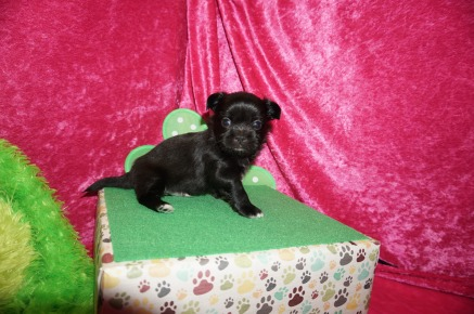 Pookie Male Miki $2000 Ready 5/12 AVAILABLE 1.3lbs 4w1d old