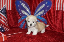 Siri Female CKC Havanese $1750 Ready 6/15 SOLD MY NEW HOME JACKSONVILLE, FL 1.13 lbs 7W3D Old