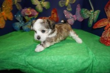 Tiger Eye Male CKC Havanese $1750 Ready 4/13 SOLD MY NEW HOME ALEXANDRA, VA 2.4 LBS 6W4D Old