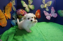 Angel Female CKC Malshi $1750 Ready 4/6 SOLD MY NEW HOME JACKSONVILLE, FL. 2.7lbs 7w4d old