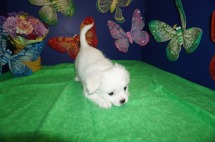 Casper Male CKC Malshi $1750 Ready 4/6 SOLD MY NEW HOME JACKSONVILLE, FL 3lbs 7wk4d old