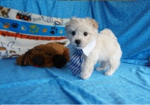 Hiccup Male CKC Maltipoo $1750 Ready 5/31 HAS DEPOSIT! My new home is in Homosassa, Fl! 1.14 lbs 7wk6d old