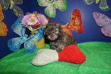 Jarah Male CKC Havashu $1750 Ready 4/13 HAS DEPOSIT! My new home is in Jax, FL! 2.11lbs 6wk2d old