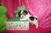 Kiwi Female CKC Havanese $2000 Ready 4/21 SOLD MY NEW HOME JACKSONVILLE BEACH, FL 1.14 Lbs 7W2D old
