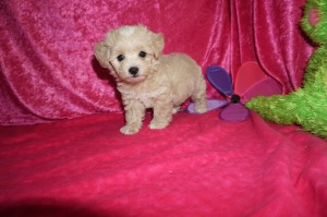 Havapoo Puppies April 2018 – TLC Puppy Love